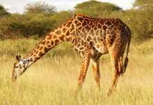 Giraffenbulle im Tarangire Nationalpark  © Foto: Ulrike Pârvu | Outback Africa