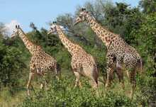 Thornicroft-Giraffenparade, South Luangwa Nationalpark  © Foto: Susanne Schlesinger | Outback Africa