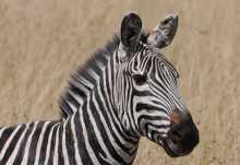 Zebra in der Massai Mara  © Foto: Bernd Gerlach