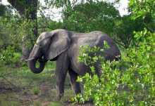Elefant im Krüger Nationalpark  © Foto: Jens Döring | Outback Africa