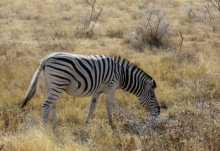 Zebra im Etosha Nationalpark  © Foto: Susanne Schlesinger | Outback Africa