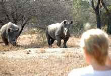 Breitmaulnashörner bei einer Pirschwanderung von Rhino Walking Safaris  © Foto: Isibindi Africa
