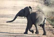 Junger Elefant, Krüger Nationalpark  © Foto: Doreen Schütze | Outback Africa
