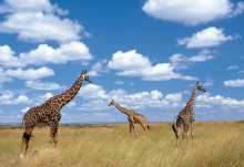 Giraffen in der Serengeti.  © Foto: Marco Penzel | Outback Africa