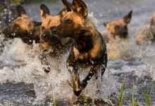 Wildhunde im Reservat von Khwai  © Foto: Letaka Safaris