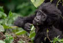 Junger Gorilla im Bwindi NP  © Foto: Dr. Christian Becker
