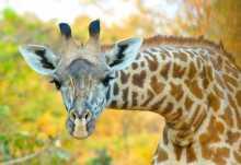 Thornicroft-Giraffe, South Luangwa Nationalpark  © Foto: Thornicroft Lodge