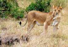 Löwin mit Jungen in der nördlichen Serengeti  © Foto: Marco Penzel | Outback Africa