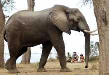 Bei einer Pirschwanderung im Lower Zambezi Nationalpark  © Foto: Chifungulu Safaris