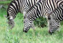 Zebras im Moremi  © Foto: S.Schlesinger| Outback Africa