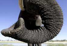 Abu Camp, Elefanteninteraktion  © Foto: Dana Allen | Wilderness Safaris