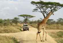 Massaigiraffe in der Serengeti  © Foto: Susanne Schlesinger | Outback Africa