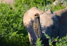 Neugieriger Elefant im Addo Elephant Nationalpark  © Foto: Ines Schulze