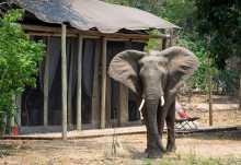 Elefantenbesuch im Ruckomechi Camp  © Foto: Dana Allen