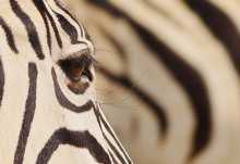 Zebra in Etosha, Namibia  © Foto: Alex Peyer | Sunway Safaris