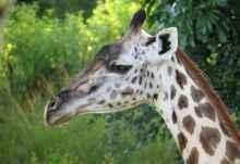 Giraffe im South Luangwa Nationalpark  © Foto: Susanne Schlesinger | Outback Africa