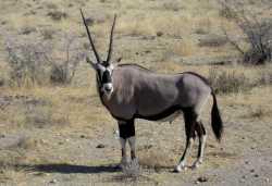 Oryx-Antilope im Etosha-Nationalpark  © Foto: Susanne Schlesinger | Outback Africa