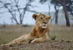 Junger Löwe in der Serengeti  © Foto: C Stummer