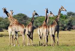 Giraffen im Hwange Nationalpark.  © Foto: Marco Penzel | Outback Africa