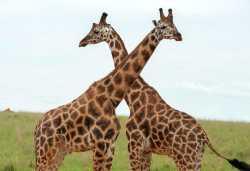 Giraffen im Murchison Falls Nationalpark  © Foto: Marco Penzel | Outback Africa