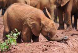 Elefanten-Waisen in Nairobi  © Foto: Marco Penzel | Outback Africa