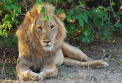 Löwe im South Luangwa Nationalpark.  © Foto: Manuela und Thomas Hölblinger