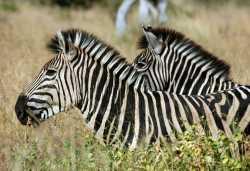 Zebras im Krüger Nationalpark  © Foto: Daniela Steinmetz