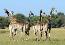 Giraffen im Hwange Nationalpark  © Foto: Marco Penzel | Outback Africa