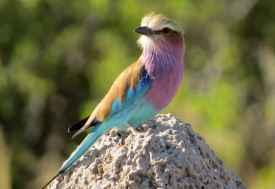 Gabelracke (Lilac Breasted Roller), Moremi  © Foto: Susanne Schlesinger | Outback Africa