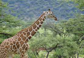 Samburu Game Reserve, Netzgiraffe  © Foto: Svenja Penzel | Outback Africa