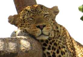 Leopard; Serengeti  © Foto: S. Schlesinger
