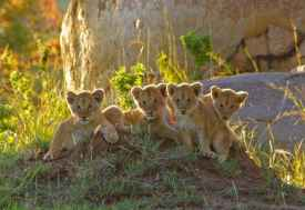 Löwenjunge, Nordserengeti  © Foto: Judith Nasse | Outback Africa Erlebnisreisen
