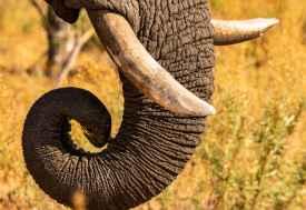 Elefantenrüssel in Moremi  © Foto: Marco Penzel | Outback Africa
