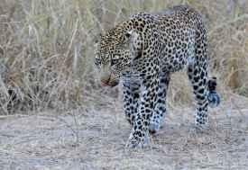 Leopard im South Luangwa Nationalpark  © Foto: Marco Penzel