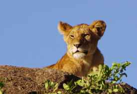 Löwin, Nordserengeti  © Foto: Judith Nasse | Outback Africa Erlebnisreisen