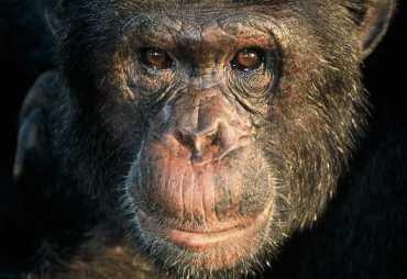Schimpanse auf Ngamba Island.