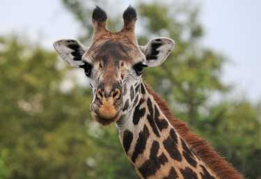 Giraffe im Lake Manyara Nationalpark  © Foto: Bernd Gerlach
