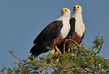 Schreiklopfseeadler in Uganda.  © Foto: Dr Christian Becker