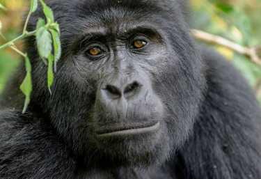 Gorilla im Bwindi NP  © Foto: Dr. Christian Becker