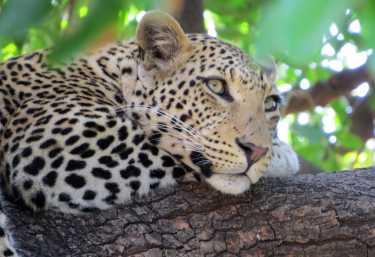 Leopard im Chobe Nationalpark  © Foto: Susanne Schlesinger | Outback Africa