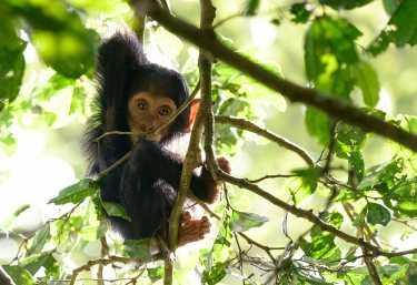 Schimpansenjunges  © Foto: Dr. Christian Becker