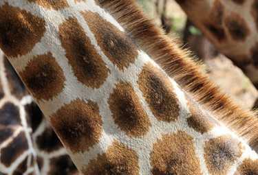 Netzgiraffe  © Foto: Marco Penzel | Outback Africa