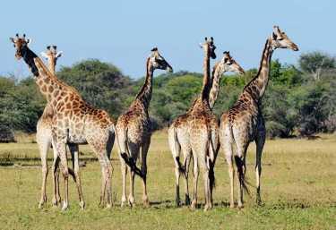 Giraffen im Hwange Nationalpark.  © Foto: Marco Penzel   Outback Africa