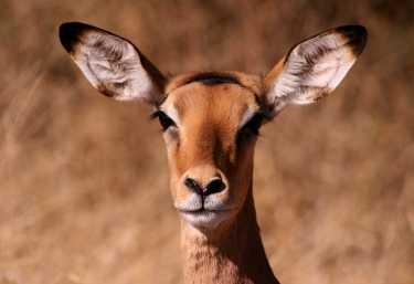 Impala in Moremi  © Foto: Doreen Schütze | Outback Africa