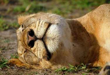 Löwin beim Mittagsschlaf  © Foto: Andrew Molinaro