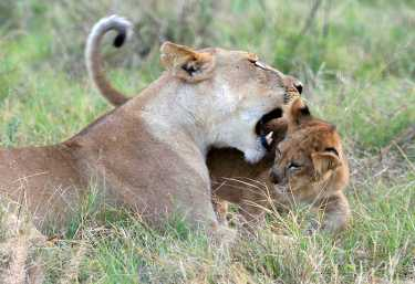 Löwin mit Jungem im Moremi Wildreservat.  © Foto: Pascal Chapelain