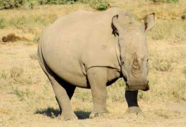 Breitmaulnashorn im Khama Rhino Sanctuary  © Foto: Susanne Schlesinger | Outback Africa