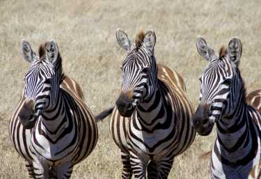 Zebras im Ngorongorokrater  © Foto: Judith Nasse | Outback Africa