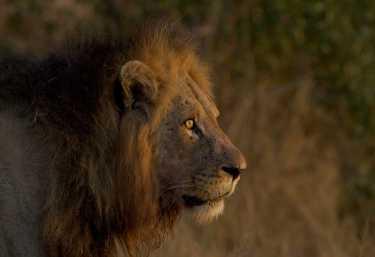 Löwe im Krüger Nationalpark  © Foto: Rob Lewis | Sunway Safaris