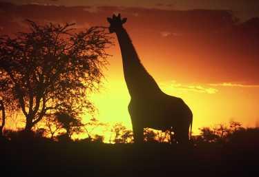 Giraffe im Sonnenuntergang im Etosha Nationalpark